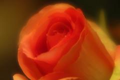 Rose of the day (ann-marie26) Tags: rose ros flower blomma closeup närbild sigma100mmmacro plastic plast f11