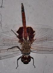 Mandalay Glider saddleback dragonfly Tramea sp Libellulidae Odonata Mandalay rainforest Airlie Beach P1088566 (Steve & Alison1) Tags: mandalay glider saddleback dragonfly tramea sp libellulidae odonata rainforest airlie beach
