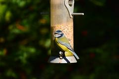 19WSY129 Blue tit, Wolseley (bentolley1) Tags: england staffordshire animal bird tit bluetit