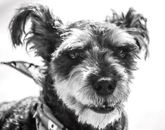 Having Some Fun (ACEZandEIGHTZ) Tags: blackandwhite nikond3200 monochrome bw familypet light bright portrait dog canine schnauzer