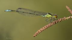 Erythromma viridulum (Charpentier, 1840) (Pipa Terrer) Tags: erythrommaviridulum zigoptera odonata campodecartagena caballitodeldiablo insecta invertebrados insectos