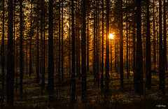 Forest light (thore.bryhn) Tags: sunset forest trees