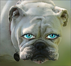 Human Eye ZZZ  Duh (Scott 97006) Tags: bulldog dog bokeh cute expression eyes look nose see white canine anthropomorphism