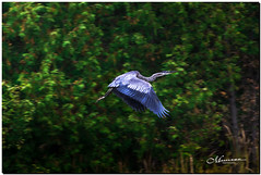OCTOBER 2019 _1003_NGM_4003-1-222 (Nick and Karen Munroe) Tags: river water waterway bridge heron blueheron greatblueheron birds bird karenick23 karenick karenandnickmunroe karenandnick munroe karenmunroe karen nickandkaren nickandkarenmunroe nick nickmunroe munroenick munroedesigns photography munroephotoghrpahy munroedesignsphotography nature landscape brampton bramptonontario ontario ontariocanada outdoors canada d750 nikond750 nikon nikon2470f28 2470 2470f28 nikon2470 nikonf28 f28 colour colours color colors