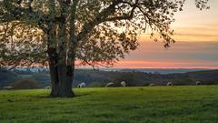 un arbre et des brebis au coucher du soleil en automne (Cyril Ribault) Tags: lanzac lot occitanie france paysage landscape arbre brebis soleil pentax k50 18135 automne pâture prairie agriculture mouton branche feuille 05s sunset coucherdesoleil 46 smcpentaxda18135mmf3556edalifdcwr pentaxda18135 smcpda18135mmf3556edalifdcwr pentaxart pentaxflickraward