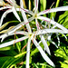 Florida   -   St. Augustine Beach    -   'Sea-Lily'
