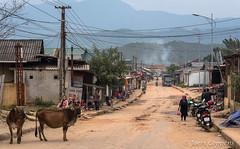 Mu Cang Chai (joeri-c) Tags: street village town livestock cow kids vietnam northvietnam mucangchai asia countryside wires sired nikond750 nikon d750 85mm