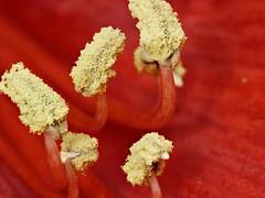 Vaureal-2019 / test Objectif-Focus Stacking (Rolumix-) Tags: amarilys fleur flower lumixg7 panasonic macro focusstacking zerenestacker imagestacking