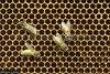 43806 After three months the Giant Asiatic Honey Bees (Apis dorsata) have abandoned their nest leaving a honeycomb with empty cells and a few late emerging bees, Perak, Malaysia. (K Fletcher & D Baylis) Tags: animal wildlife fauna insect eusocial colony superorganism hymenoptera bee honeybee gianthoneybee giantasiatichoneybee megapis apis apisdorsata comb honeycomb nest beesnest cell geometry geometric hexagonal hexagons perak malaysia asia november2019 ©fletcherbaylis