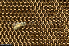 43805 After three months the Giant Asiatic Honey Bees (Apis dorsata) have abandoned their nest leaving a honeycomb with empty cells and a few late emerging bees, Perak, Malaysia. (K Fletcher & D Baylis) Tags: animal wildlife fauna insect eusocial colony superorganism hymenoptera bee honeybee gianthoneybee giantasiatichoneybee megapis apis apisdorsata comb honeycomb nest beesnest cell geometry geometric hexagonal hexagons perak malaysia asia november2019 ©fletcherbaylis