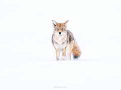 Coyote (Greg Gard) Tags: canislatrans carnivorous greggard gregorygard canada coyote ears face greggardcom montana mt snow straighon wildlife winter wyoming yellowstone canis walking straighton straight towards frontal usa