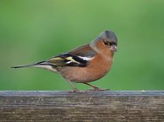 Chaffinch (PhotoLoonie) Tags: bird chaffinch wildbird wildlife nature avian
