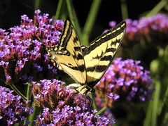 I miss the butterflies! (Ruby 2417) Tags: swallowtail butterfly insect wildlife nature sonoma sunset gardens verbena purple yellow