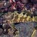 Foursaddle Grouper - Epinephelus spilotoceps