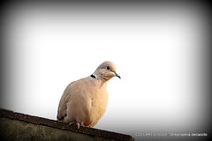 Collared Dove up on the roof (pete. #hwcp) Tags: mygarden autumn nikonp1000 tit wickedweasel collared dove up roof