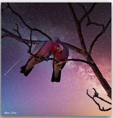 Galahs (Bear Dale) Tags: galahs necking under stars ulladulla southcoast new south wales shoalhaven australia beardale lakeconjola fotoworx milton nsw nikond850 photography framed nature nikon bear d850 luminar composite background