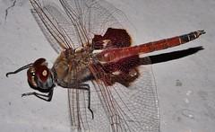 Mandalay Glider saddleback dragonfly Tramea sp Libellulidae Odonata Mandalay rainforest Airlie Beach P1088578 (Steve & Alison1) Tags: mandalay glider saddleback dragonfly tramea sp libellulidae odonata rainforest airlie beach