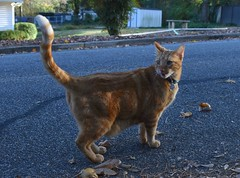 """Hey, where did that come from?"" (rootcrop54) Tags: neighbor neighborhood male cat kurt orange ginger tabby street newfriend neko macska kedi 猫 貓 kočka kissa γάτα köttur kucing gatto 고양이 kaķis katė katt katze katzen katua kot кошка mačka gatos kotek мачка pisică pisici maček kitteh chat ネコ"
