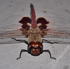 Mandalay Glider saddleback dragonfly Tramea sp Libellulidae Odonata Mandalay rainforest Airlie Beach P1088577 (Steve & Alison1) Tags: mandalay glider saddleback dragonfly tramea sp libellulidae odonata rainforest airlie beach