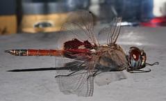 Mandalay Glider saddleback dragonfly Tramea sp Libellulidae Odonata Mandalay rainforest Airlie Beach P1088569 (Steve & Alison1) Tags: mandalay glider saddleback dragonfly tramea sp libellulidae odonata rainforest airlie beach