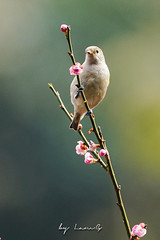 19035.309363 (lamgphoto) Tags: 火冠雀 firecapped tit