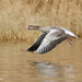 Greylag Goose (Anser anser)