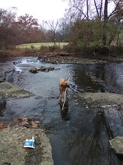 Crossing The Creek- HWW (EX22218 - ON/OFF) Tags: creek brook dog trees grass flag golfcourse rocks hww water seneca nature