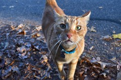 Sally and I met Kurt on our walk today. (rootcrop54) Tags: neighbor neighborhood male cat kurt orange ginger tabby street newfriend neko macska kedi 猫 貓 kočka kissa γάτα köttur kucing gatto 고양이 kaķis katė katt katze katzen katua kot кошка mačka gatos kotek мачка pisică pisici maček kitteh chat ネコ cc100