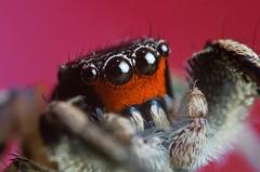 Habronattus Coecatus Male (Kasuyin) Tags: arachnid arthopoda macro truemacro extrememacro reversemacro 11 spider salticidae insect pink red nikon 1855mm kitlens