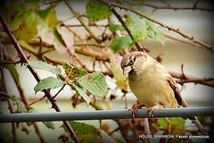 House Sparrow (pete. #hwcp) Tags: mygarden autumn nikonp1000 tit wickedweasel house sparrow
