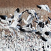 Snow Geese | Bosque del Apache NM