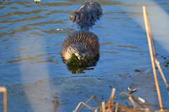 Muskrat With a Mouthful (Randy R...) Tags: muskrat d7500 nature nebraska water lake animalplanet