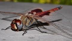 Mandalay Glider saddleback dragonfly Tramea sp Libellulidae Odonata Mandalay rainforest Airlie Beach P1088581 (Steve & Alison1) Tags: mandalay glider saddleback dragonfly tramea sp libellulidae odonata rainforest airlie beach