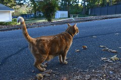 We met Kurt today. (rootcrop54) Tags: neighbor neighborhood male cat kurt orange ginger tabby street newfriend neko macska kedi 猫 貓 kočka kissa γάτα köttur kucing gatto 고양이 kaķis katė katt katze katzen katua kot кошка mačka gatos kotek мачка pisică pisici maček kitteh chat ネコ