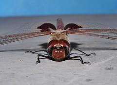 Mandalay Glider saddleback dragonfly Tramea sp Libellulidae Odonata Mandalay rainforest Airlie Beach P1088574 (Steve & Alison1) Tags: mandalay glider saddleback dragonfly tramea sp libellulidae odonata rainforest airlie beach