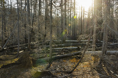 Treescape (OregonDOT) Tags: mckenziepass mckenziehighway mckenzie or242 scenicoregon scenic oregondot oregon