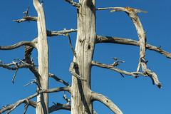Standing together (OregonDOT) Tags: mckenziepass mckenziehighway mckenzie or242 scenicoregon scenic oregondot oregon
