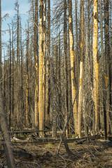 Post-fire trees (OregonDOT) Tags: mckenziepass mckenziehighway mckenzie or242 scenicoregon scenic oregondot oregon
