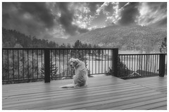 Mojave waiting for the storm (Karon Elliott Edleson) Tags: storm snow mountains lake bigbearlake golden retriever dog pet blackandwhite monotone canon flickrlounge weeklythemebw