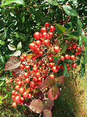 Cluster Of Berries. (dccradio) Tags: lumberton nc northcarolina robesoncounty outdoor outdoors outside nature natural samsung galaxy smj727v j7v cellphone cellphonepicture november morning goodmorning wednesday wednesdaymorning leaf leaves bush shrub berry berries