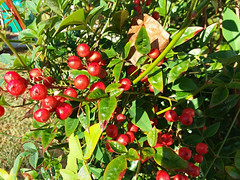 Leaves And Berries. (dccradio) Tags: lumberton nc northcarolina robesoncounty outdoor outdoors outside nature natural samsung galaxy smj727v j7v cellphone cellphonepicture november morning goodmorning wednesday wednesdaymorning leaf leaves bush shrub berry berries