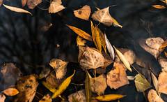 Leaves in water (hicken999) Tags: leaves water outside utah fall