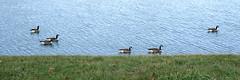Geese On A Lake (Modkuse) Tags: geese creatures animals birds nature natural natureart photoart lake provia fujiprovia fujifilmproviasimulation nopostprocessing sooc straightoutofcamera fujifilm fujinon xh1 fujifilmxh1 fujinonxf1655mmf28rlmwr xf1655mmf28rlmwr