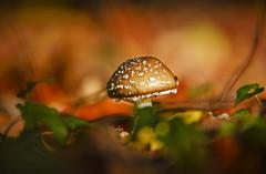 Süß und giftig (KaAuenwasser) Tags: giftig gift pantherpilz pilz bokeh wald jahreszeit herbst makro nah sehrgiftig waldboden laub blätter