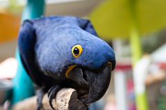 Hyacinth Macaw (chriscollinsky) Tags: bird parrot macaw hyacinth canon6dmarkii 50mm18stm nature