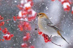 Pine Grosbeak (J-F No) Tags: pine grosbeak bird birds animal nature wildlife winter snow berries pentax k1 560mm