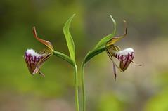 ram's head lady slipper, cypripedium aretinum (ats8110) Tags: ramsheadladyslipper cypripediumaretinum michigan native wild orchid nikon d700