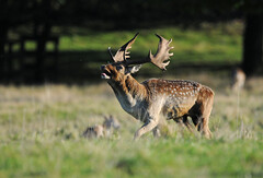 Rutting Buck (andy_AHG) Tags: wildlife autumn stag fallowdeerbuck antlers animals nikond300s yorkshire ruttingseason