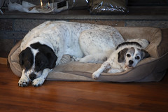 11/12 Boomer &  his little sister (Boered) Tags: boomer darla dog dogs 12monthsfordogs19 bed napping brother sister