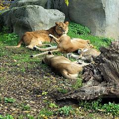 Les lions du PZP (Raymonde Contensous) Tags: parczoologiquedeparis zoodevincennes animaux nature lions félins
